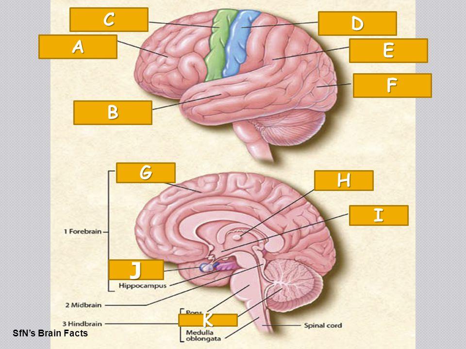The Brain SfN's Brain Facts