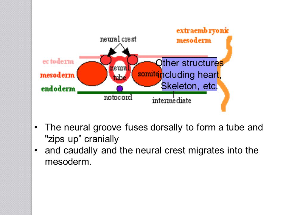 The neural groove fuses dorsally to form a tube and