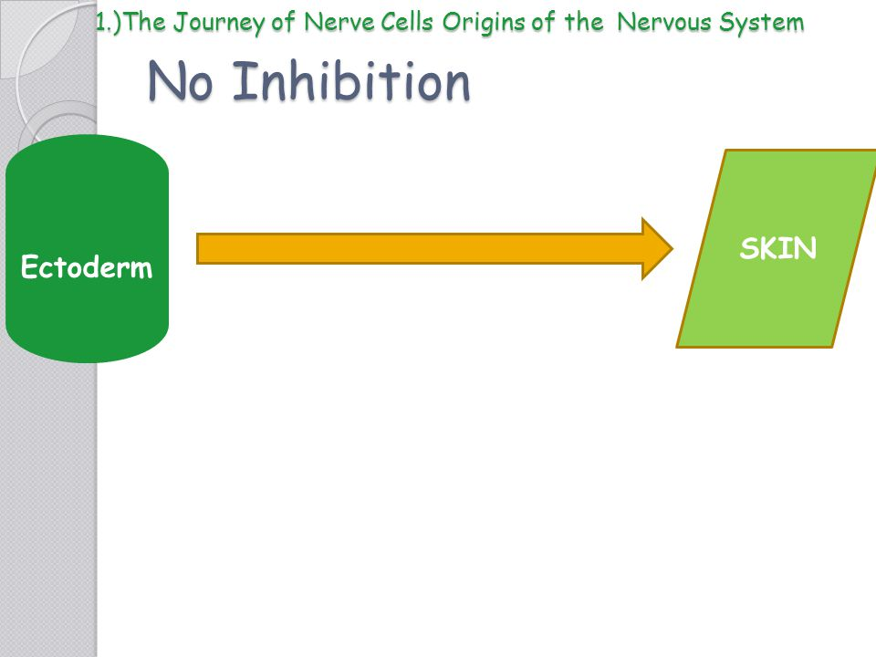 No Inhibition Ectoderm SKIN 1.)The Journey of Nerve Cells Origins of the Nervous System