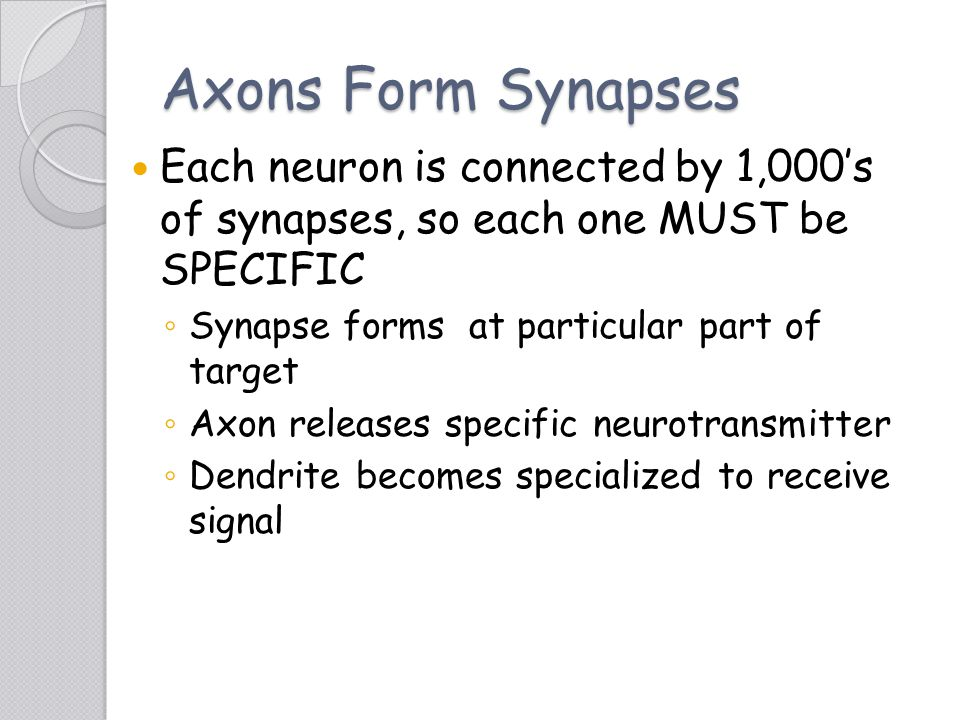 Axons Form Synapses Each neuron is connected by 1,000's of synapses, so each one MUST be SPECIFIC ◦ Synapse forms at particular part of target ◦ Axon