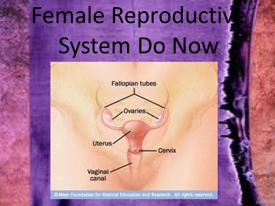 Female Reproductive System Do Now