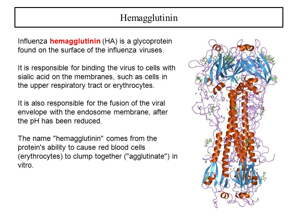 Hemagglutinin Influenza hemagglutinin (HA) is a glycoprotein found on the surface of the influenza viruses.