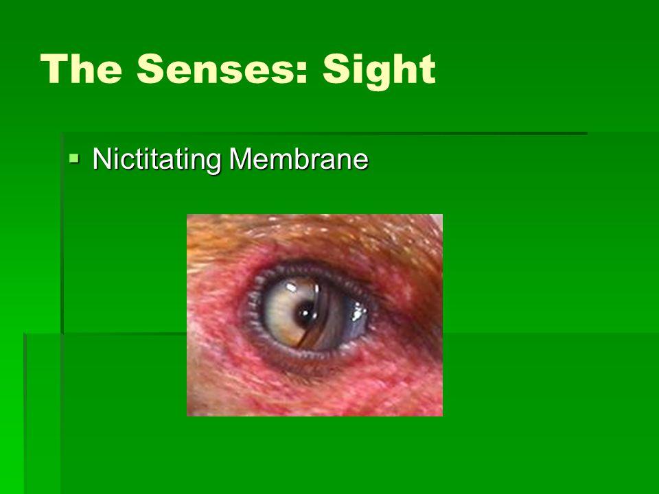 The Senses: Sight  Nictitating Membrane