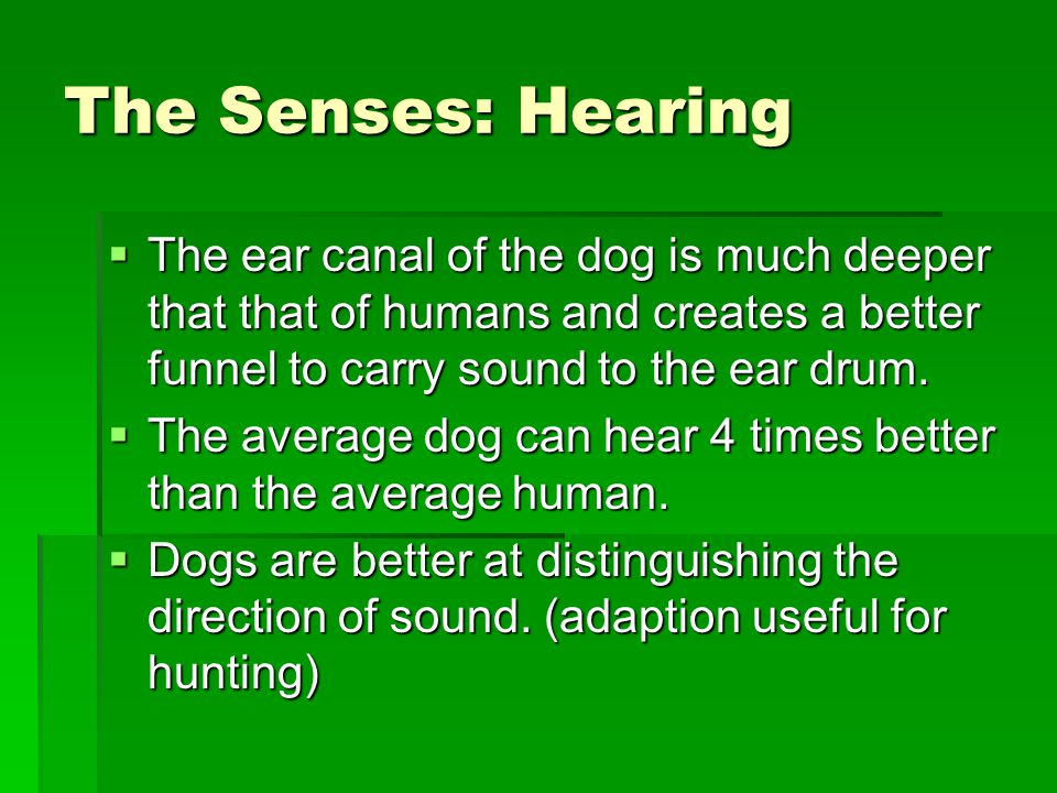 The Senses: Hearing  The ear canal of the dog is much deeper that that of humans and creates a better funnel to carry sound to the ear drum.
