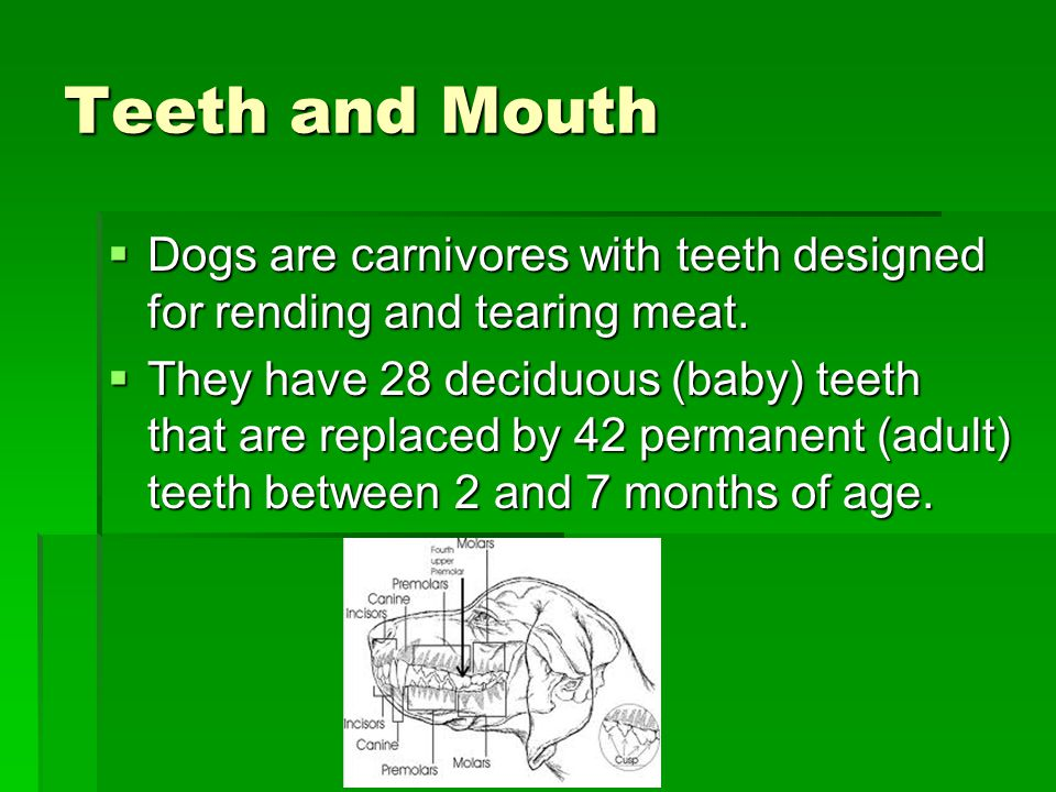 Teeth and Mouth  Dogs are carnivores with teeth designed for rending and tearing meat.