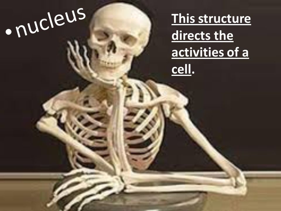 This structure directs the activities of a cell. nucleus