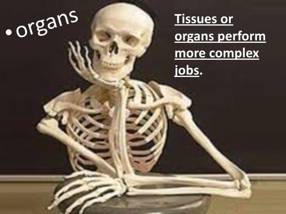 Tissues or organs perform more complex jobs. organs