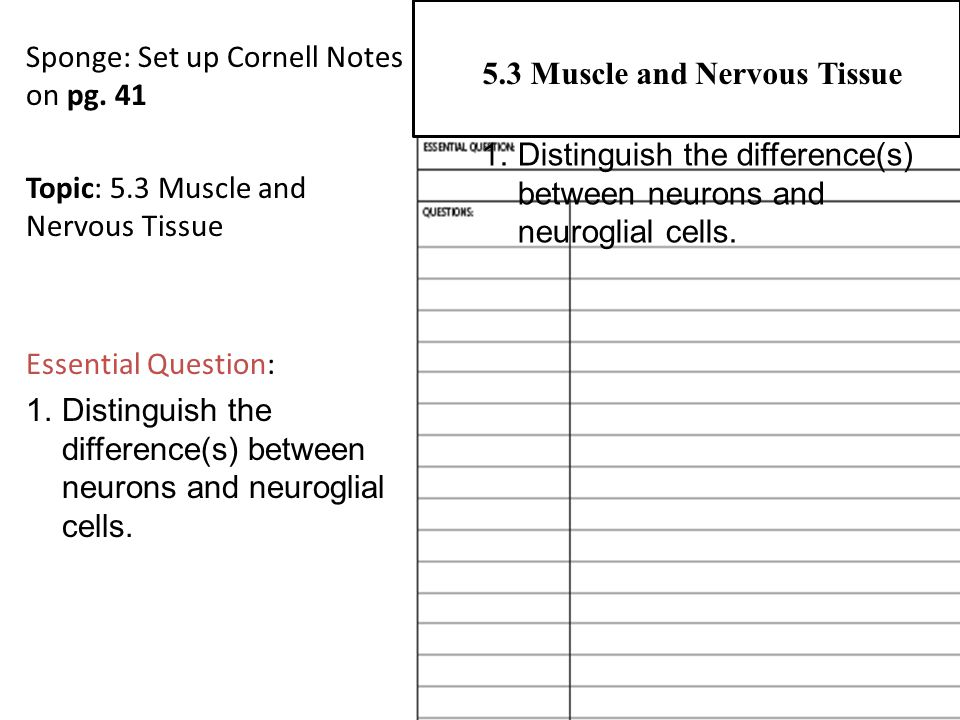 Sponge: Set up Cornell Notes on pg. 41 Topic: 5.3 Muscle and Nervous Tissue Essential Question: 1.Distinguish the difference(s) between neurons and ne