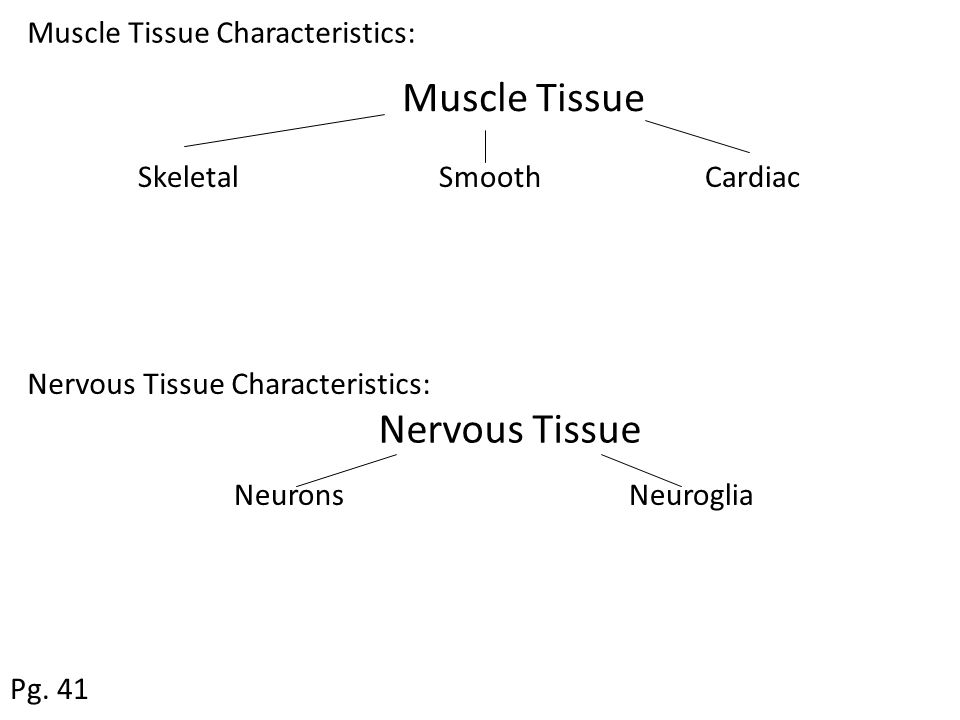 Muscle Tissue Skeletal Smooth Cardiac Nervous Tissue Neurons Neuroglia Pg. 41 Muscle Tissue Characteristics: Nervous Tissue Characteristics: