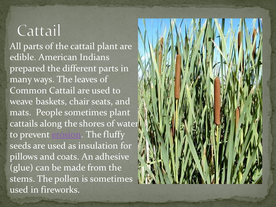 All parts of the cattail plant are edible. American Indians prepared the different parts in many ways. The leaves of Common Cattail are used to weave