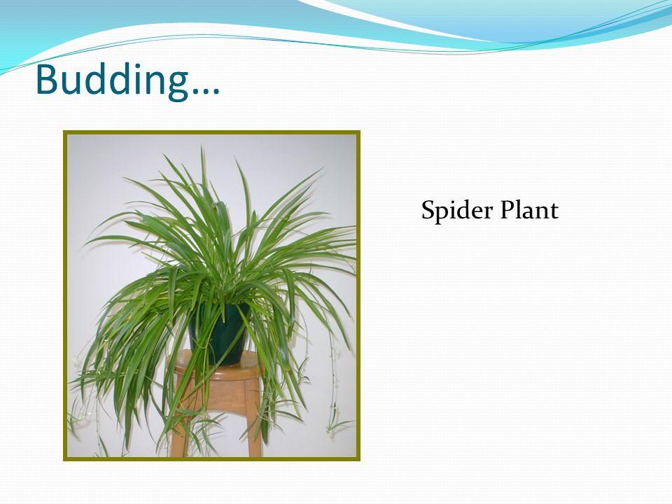 Budding… Spider Plant