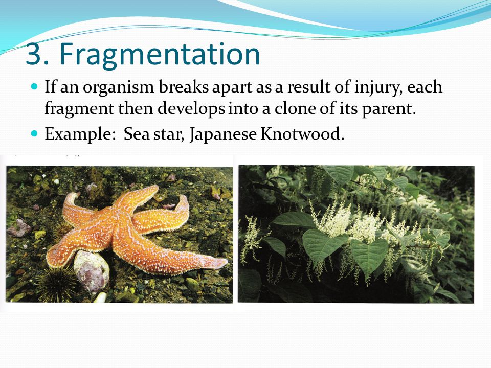 3. Fragmentation If an organism breaks apart as a result of injury, each fragment then develops into a clone of its parent. Example: Sea star, Japanes