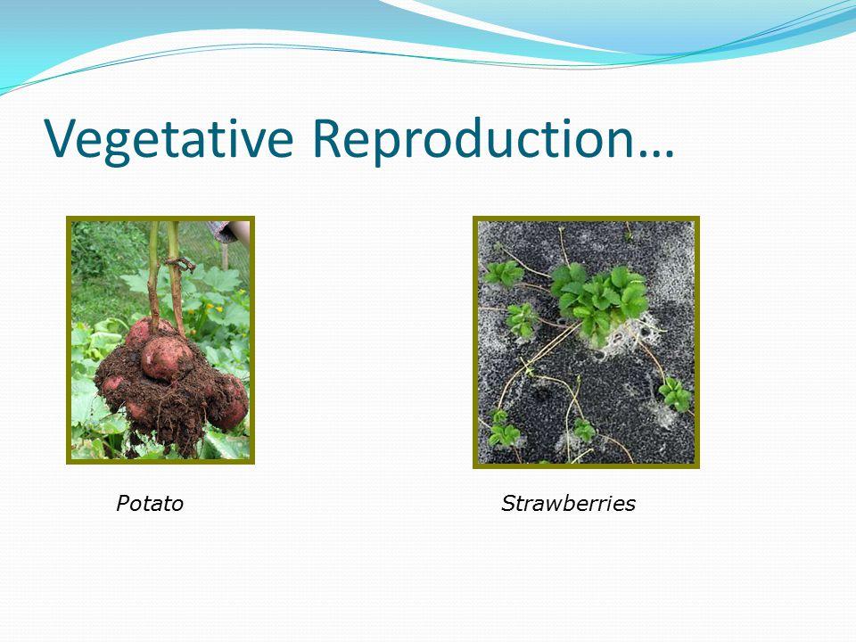 Vegetative Reproduction… PotatoStrawberries