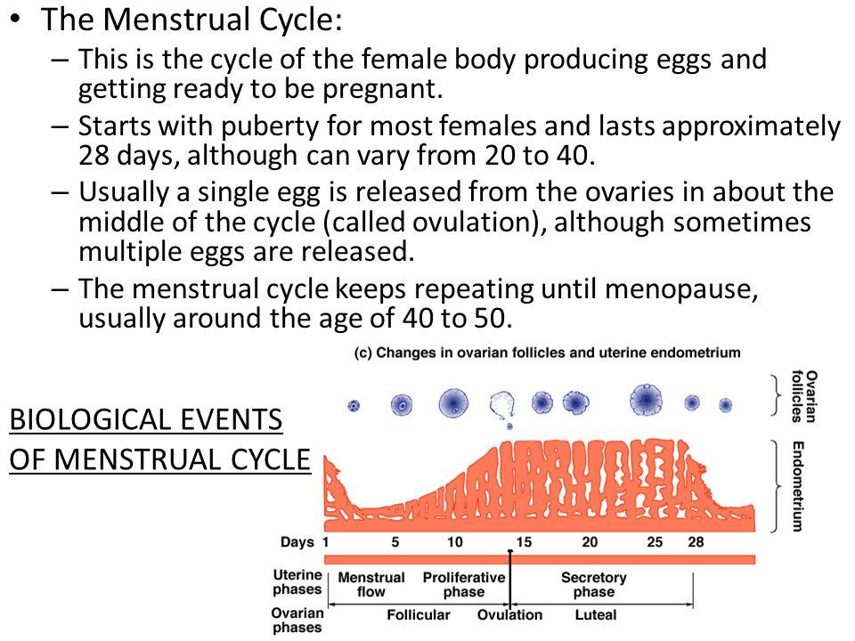 The Menstrual Cycle: – This is the cycle of the female body producing eggs and getting ready to be pregnant. – Starts with puberty for most females an