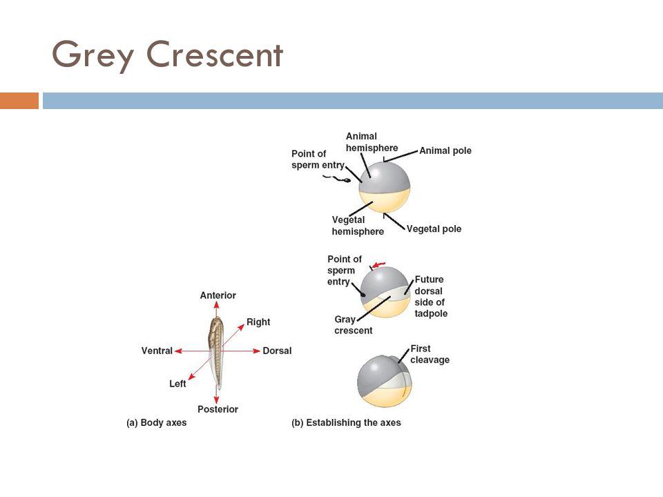 Grey Crescent