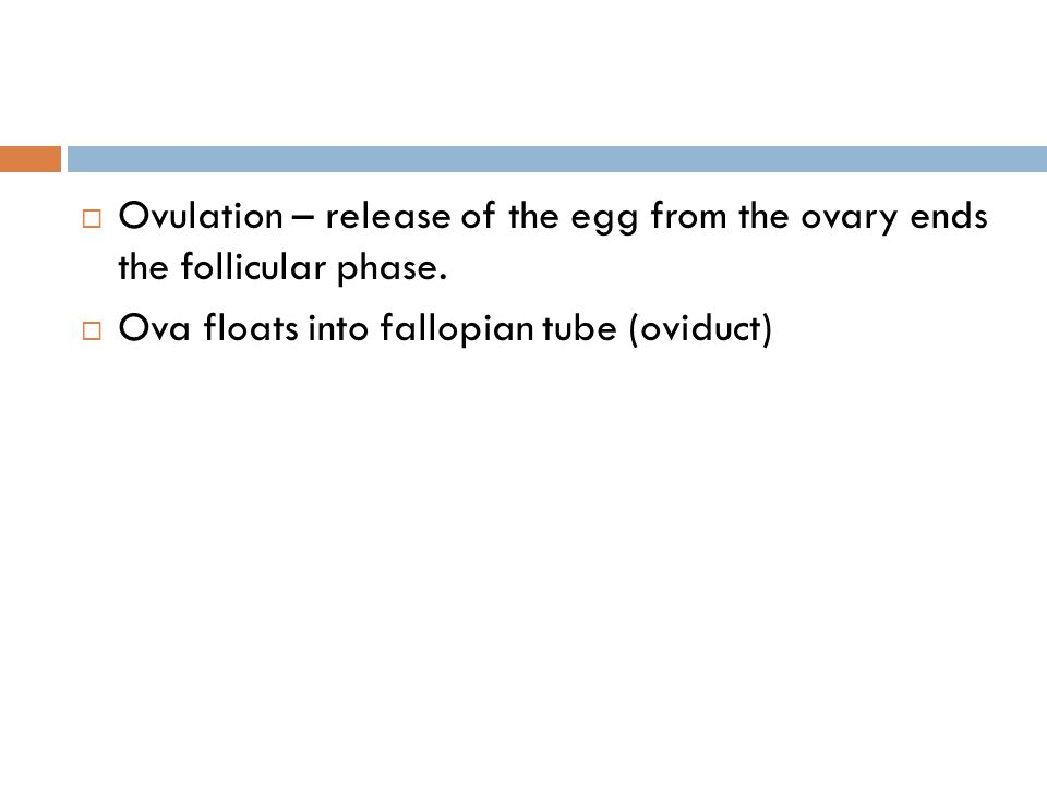  Ovulation – release of the egg from the ovary ends the follicular phase.  Ova floats into fallopian tube (oviduct)
