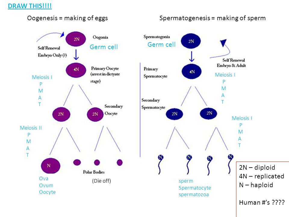 Oogenesis = making of eggsSpermatogenesis = making of sperm Germ cell Meiosis I P M A T Meiosis II P M A T Ova Ovum Oocyte (Die off) Meiosis I P M A T Meiosis I P M A T sperm Spermatocyte spermatozoa Germ cell 2N – diploid 4N – replicated N – haploid Human #'s ???.