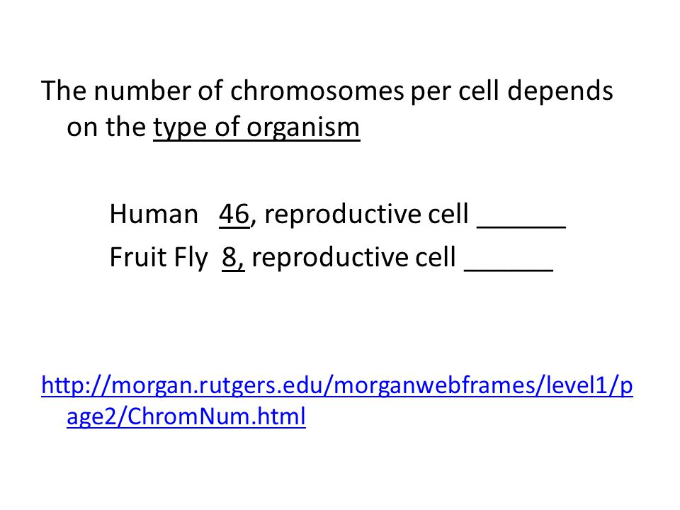 The number of chromosomes per cell depends on the type of organism Human 46, reproductive cell ______ Fruit Fly 8, reproductive cell ______ http://morgan.rutgers.edu/morganwebframes/level1/p age2/ChromNum.html
