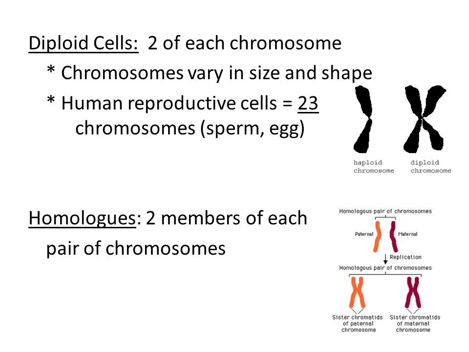 Diploid Cells: 2 of each chromosome * Chromosomes vary in size and shape * Human reproductive cells = 23 chromosomes (sperm, egg) Homologues: 2 members of each pair of chromosomes