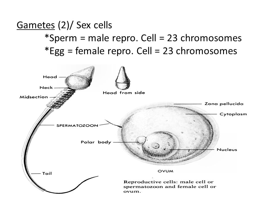 Gametes (2)/ Sex cells *Sperm = male repro.Cell = 23 chromosomes *Egg = female repro.