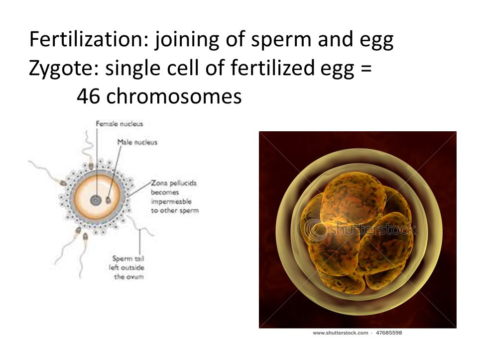 Fertilization: joining of sperm and egg Zygote: single cell of fertilized egg = 46 chromosomes