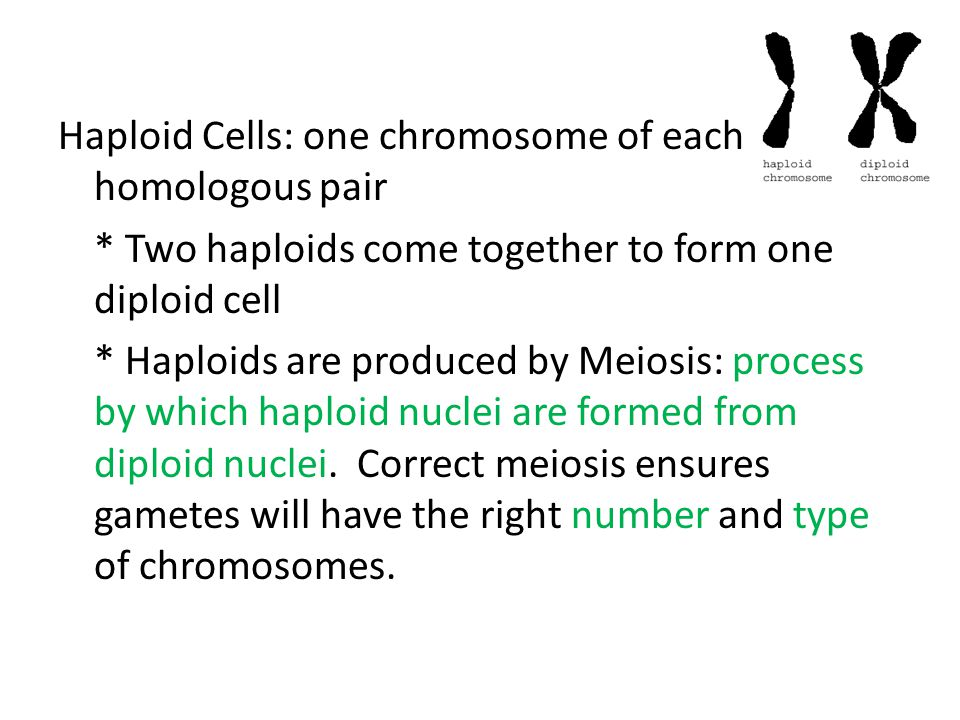 Haploid Cells: one chromosome of each homologous pair * Two haploids come together to form one diploid cell * Haploids are produced by Meiosis: proces