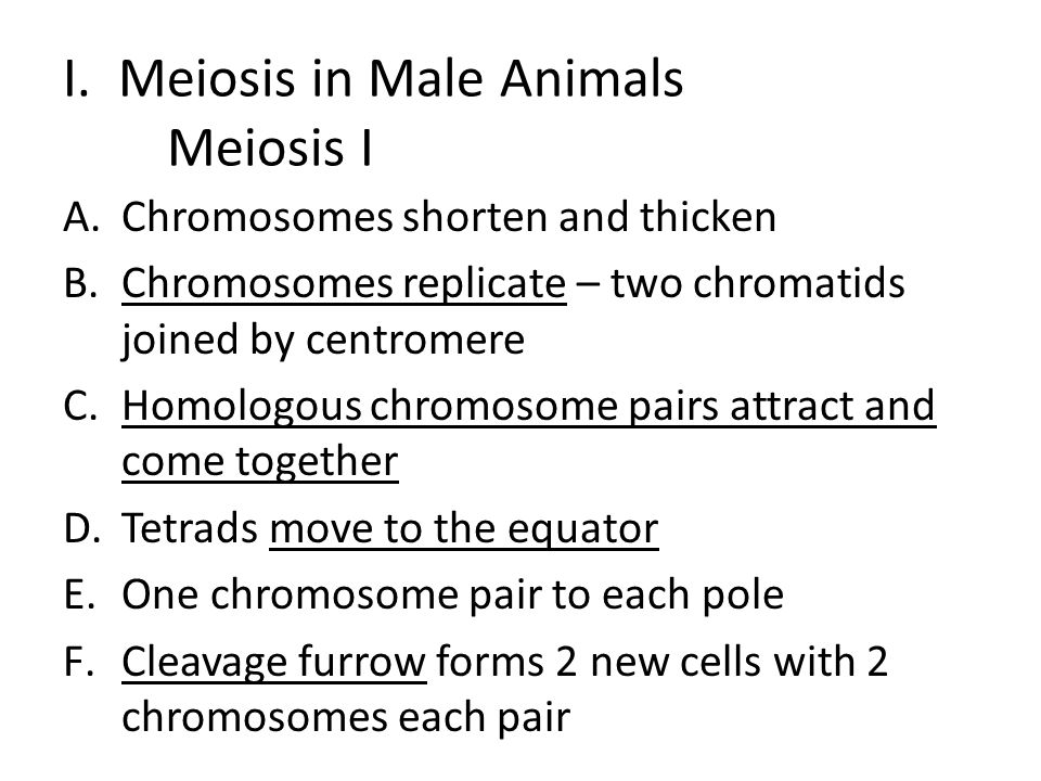 I. Meiosis in Male Animals Meiosis I A.Chromosomes shorten and thicken B.Chromosomes replicate – two chromatids joined by centromere C.Homologous chro