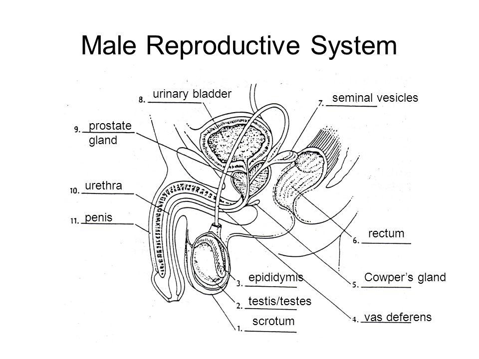 Male Reproductive System scrotum testis/testes epididymis vas deferens Cowper's gland rectum seminal vesicles urinary bladder prostate gland urethra p