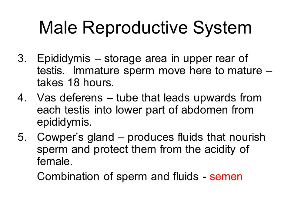 Male Reproductive System 3.Epididymis – storage area in upper rear of testis. Immature sperm move here to mature – takes 18 hours. 4.Vas deferens – tu