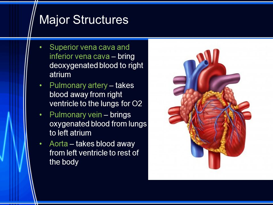 Major Structures Superior vena cava and inferior vena cava – bring deoxygenated blood to right atrium Pulmonary artery – takes blood away from right v