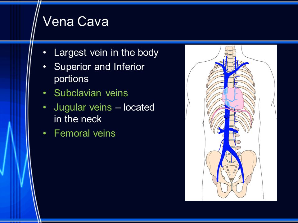 Vena Cava Largest vein in the body Superior and Inferior portions Subclavian veins Jugular veins – located in the neck Femoral veins