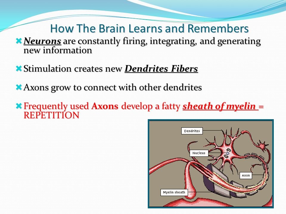 How The Brain Learns and Remembers  Neurons are constantly firing, integrating, and generating new information  Stimulation creates new Dendrites Fibers  Axons grow to connect with other dendrites  Frequently used Axons develop a fatty sheath of myelin = REPETITION