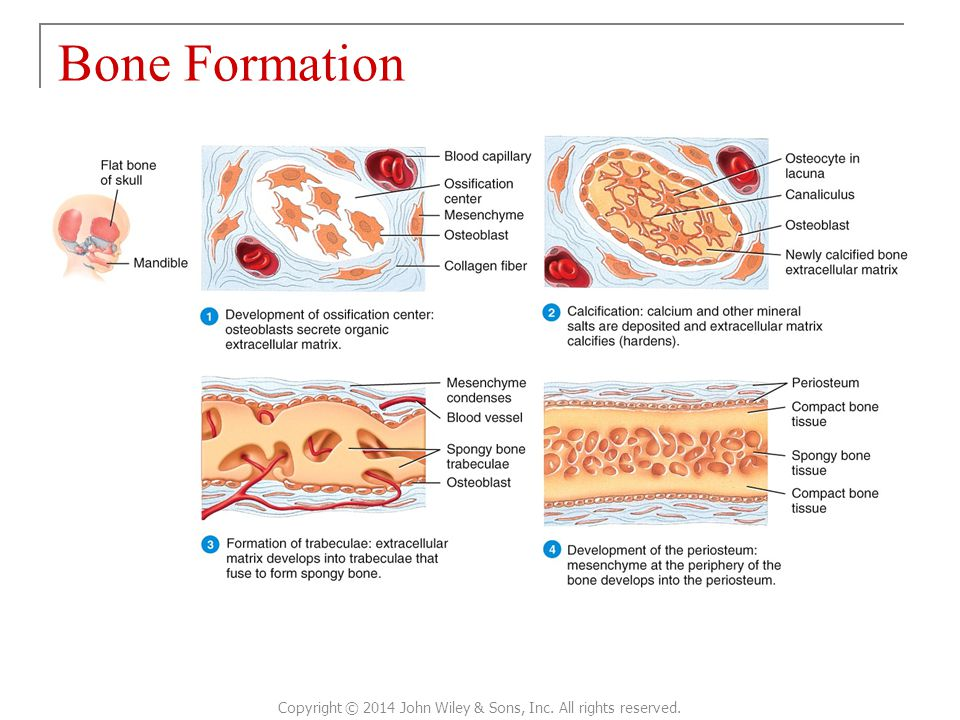 Bone Formation Copyright © 2014 John Wiley & Sons, Inc. All rights reserved.