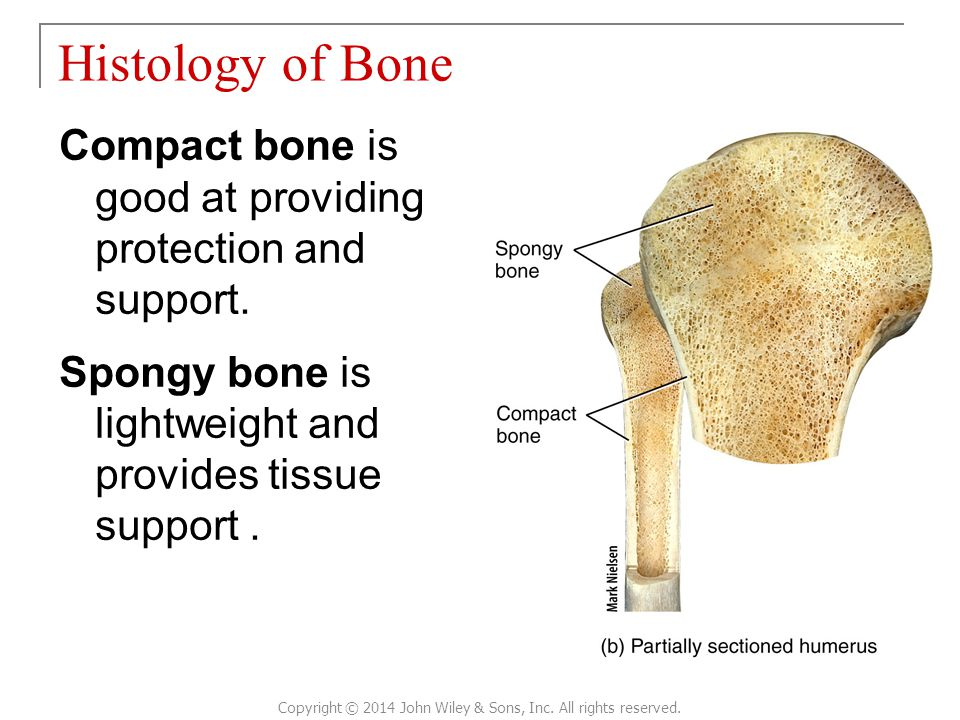 Compact bone is good at providing protection and support.