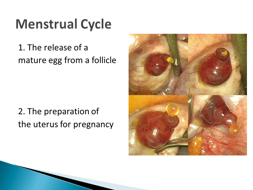 1. The release of a mature egg from a follicle 2. The preparation of the uterus for pregnancy