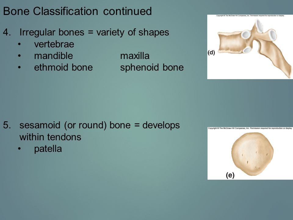 Endochondral Ossification continued Figure 7.8 Major stages of endochondral ossification.
