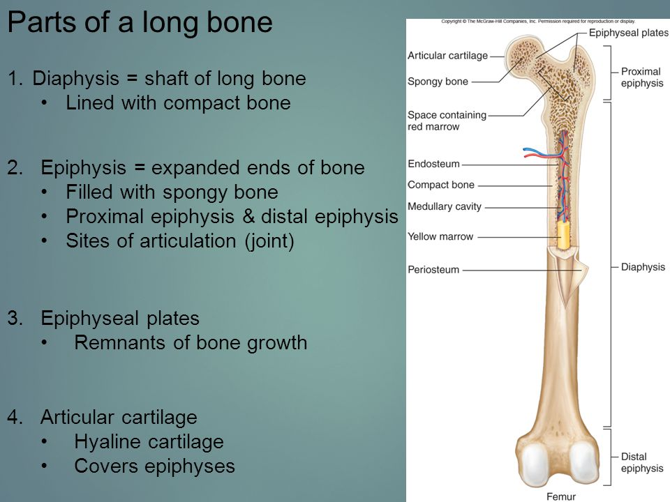 Endochondral Ossification Two areas of endochondral bone retain cartilage after ossification.