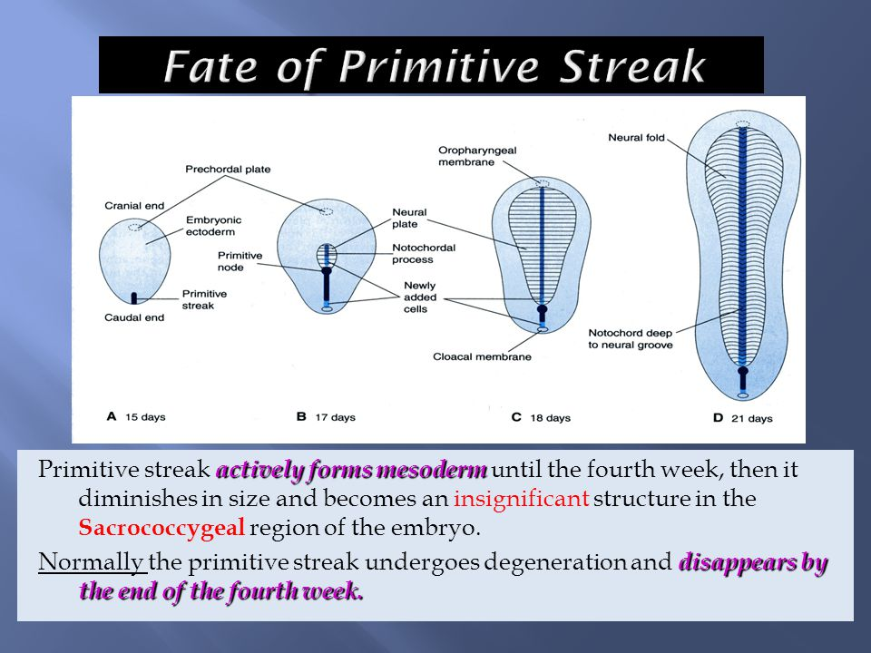 actively forms mesoderm Primitive streak actively forms mesoderm until the fourth week, then it diminishes in size and becomes an insignificant struct