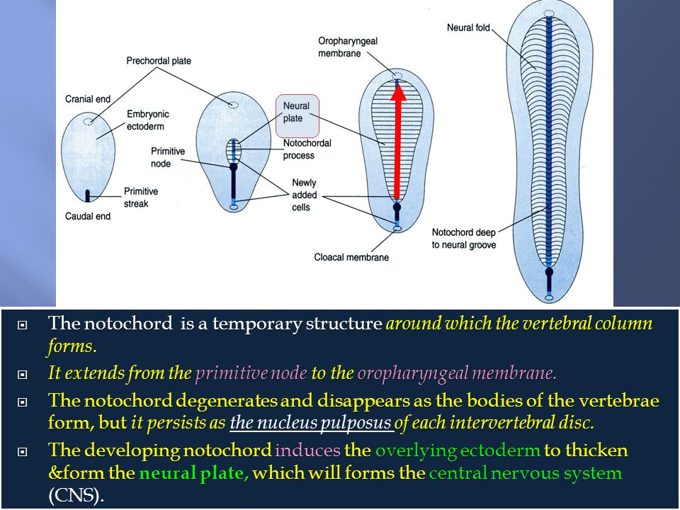  The notochord is a temporary structure around which the vertebral column forms.  It extends from the primitive node to the oropharyngeal membrane.