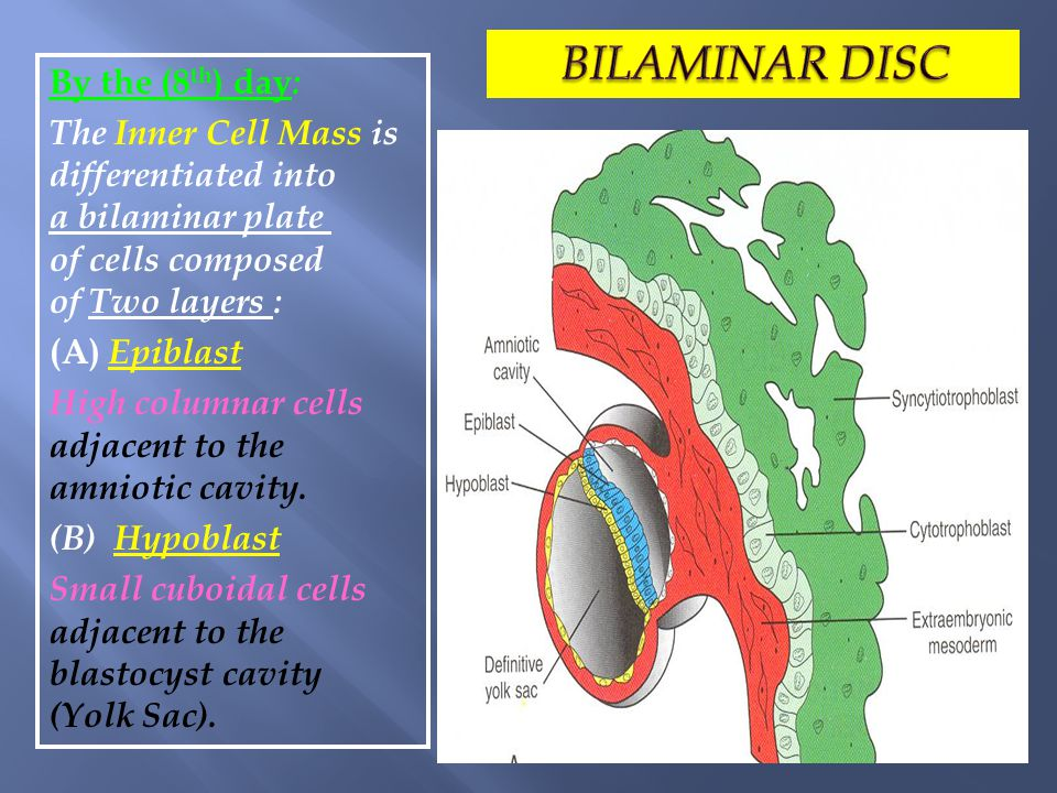 By the (8 th ) day : The Inner Cell Mass is differentiated into a bilaminar plate of cells composed of Two layers : (A) Epiblast High columnar cells a