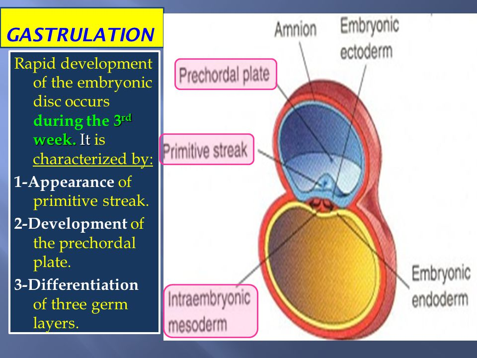 GASTRULATION 3 rd week. It Rapid development of the embryonic disc occurs during the 3 rd week. It is characterized by: 1-Appearance of primitive stre