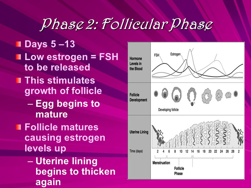 Phase 2: Follicular Phase Days 5 –13 Low estrogen = FSH to be released This stimulates growth of follicle – –Egg begins to mature Follicle matures causing estrogen levels up – –Uterine lining begins to thicken again