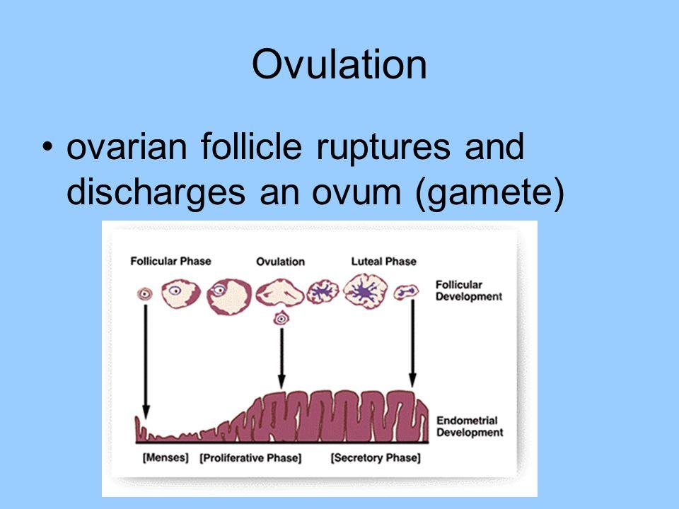 Ovulation ovarian follicle ruptures and discharges an ovum (gamete)