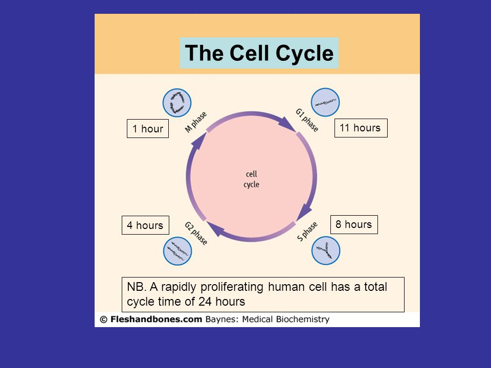 The Cell Cycle 11 hours 8 hours 4 hours 1 hour NB. A rapidly proliferating human cell has a total cycle time of 24 hours