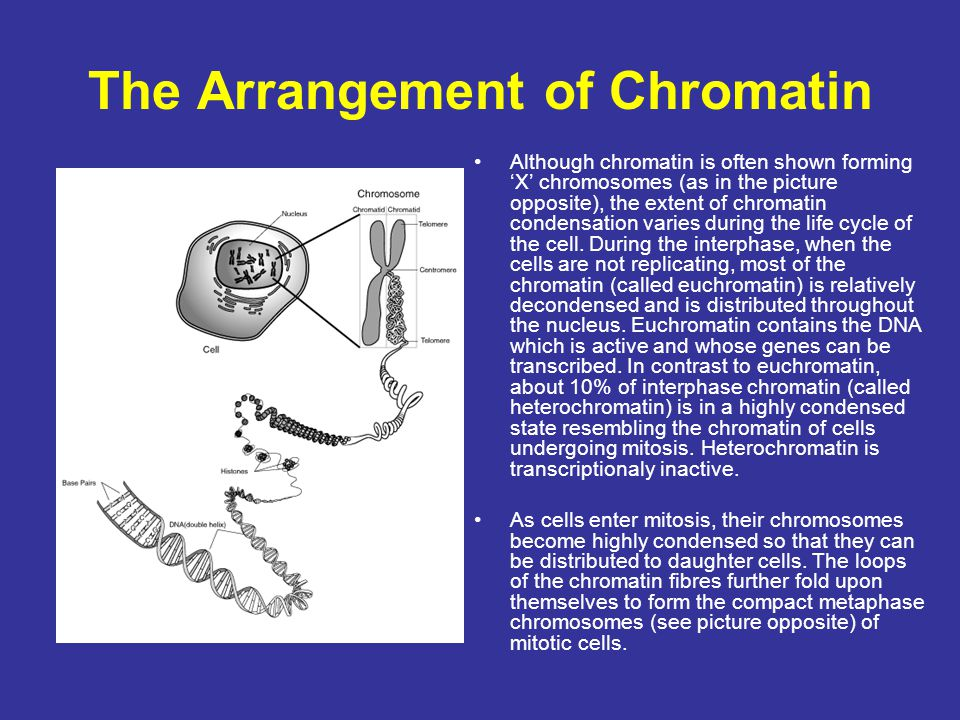 The Arrangement of Chromatin Although chromatin is often shown forming 'X' chromosomes (as in the picture opposite), the extent of chromatin condensat