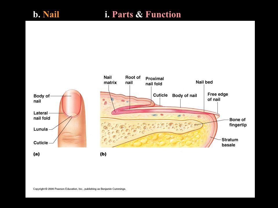 b. Naili. Parts & Function