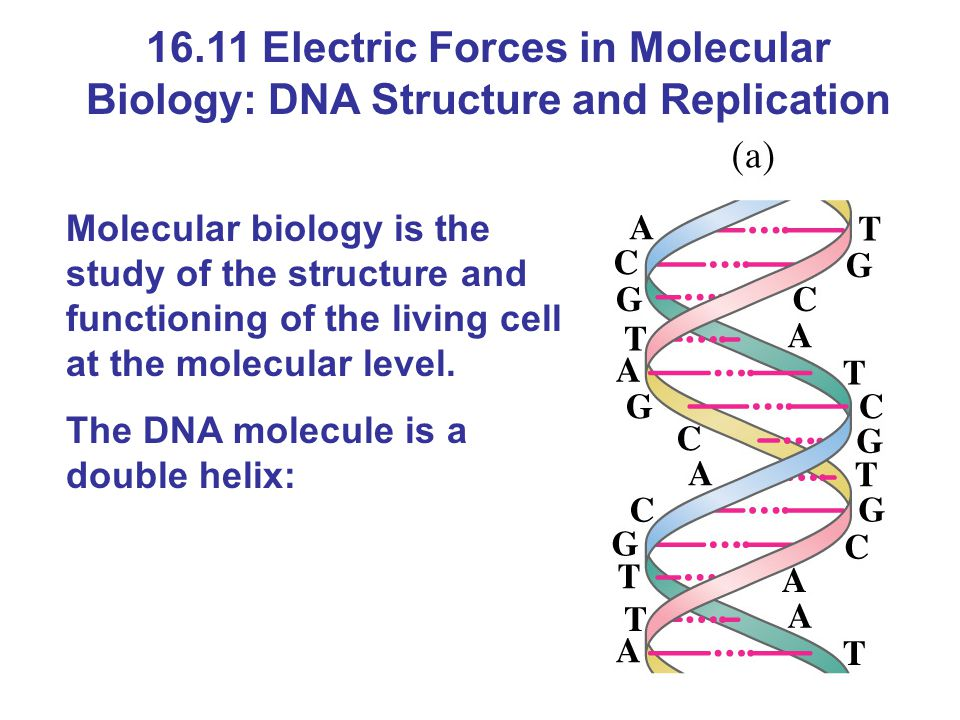 16.11 Electric Forces in Molecular Biology: DNA Structure and Replication Molecular biology is the study of the structure and functioning of the living cell at the molecular level.