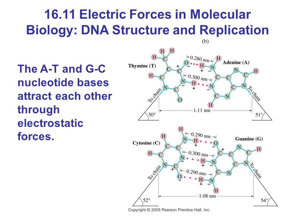 16.11 Electric Forces in Molecular Biology: DNA Structure and Replication The A-T and G-C nucleotide bases attract each other through electrostatic fo