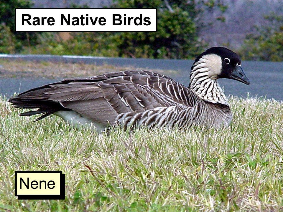 Rare Native Birds Nene
