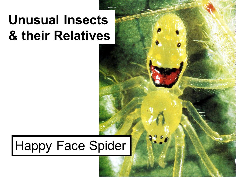Unusual Insects & their Relatives Happy Face Spider